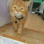 Persian Cat , 8 Cool Adopt A Persian Cat In Cat Category
