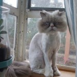 Persian Cat , 7 Nice Persian Cat Temperament In Cat Category
