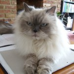 Persian Cat , 9 Lovely Persian Cat Eye Problems In Cat Category