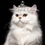 Persian Cat , 6 Awesome Persian Cats Personality In Cat Category