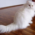 Persian Cats , 6 Persian Cat Allergies To Consider In Cat Category