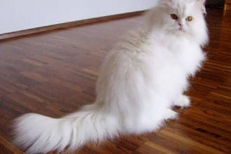 Persian Cats in Dog