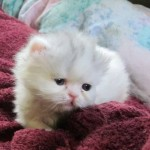 Persian Cats For Adoption , 10 Fabulous Persian Cat Rescue California In Cat Category