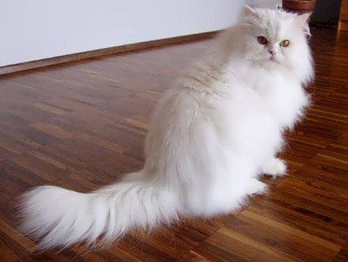 Cat , 6 Persian Cat Allergies To Consider : Persian Cats