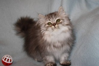 Persian Cats , 6 Nice Persian Cat Rescue Virginia In Cat Category