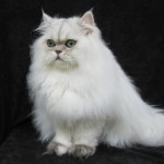 Persian Cats , 8 Unique Doll Faced Persian Cats In Cat Category