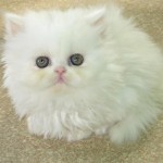 Persian Cats , 8 Beautiful Persian Names For Cats In Cat Category