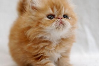 Persian Cats , 7 Charming Facts About Persian Cats In Cat Category