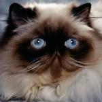Persian Cats , 7 Good Persian Cat Grooming In Dog Category