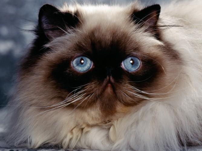 Dog , 7 Good Persian Cat Grooming : Persian Cats