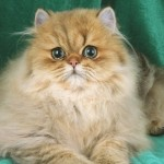 Persian Cats , 9 Cute Persian Cat Health Issues In Cat Category