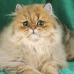 Persian Cats , 9 Cute Persian Cat Health Issues In Cat Category