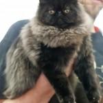 Persian Cats , 6Good Persian Cat Grooming Tools In Cat Category