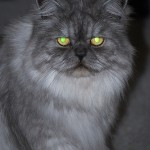 Persian Cats , 8 Charming Different Types Of Persian Cats In Cat Category