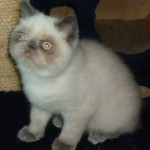 Persian Exotic kittens , 9 Lovely Persian Cats For Sale In Indiana In Cat Category