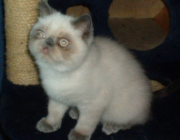 Cat , 9 Lovely Persian Cats For Sale In Indiana : Persian Exotic Kittens