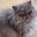 Persian & Himalayan Cat Rescue , 9 Cute Persian Himalayan Cat Rescue In Cat Category
