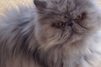 Persian & Himalayan Cat Rescue in Cell