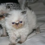 Persian Himalayan kittens , 7 Charming Himalayan Persian Cat In Cat Category