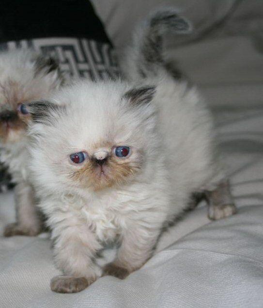 Cat , 7 Charming Himalayan Persian Cat : Persian Himalayan Kittens