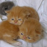 Persian Kitten , 9 Charming Persian Cat Rescue San Diego In Cat Category