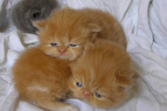 Persian Kitten in Cat
