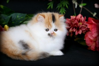 Persian Kitten For Sale , 8 Cool Teacup Persian Cat Price In Cat Category