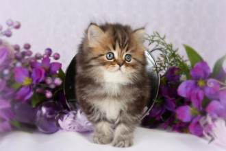 Persian Kitten in Butterfly