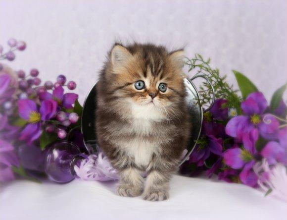Cat , 8 Cool Teacup Persian Cat Price : Persian Kitten