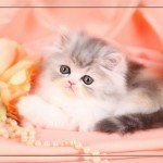 Persian Kittens For Sale , 7 Cute Teacup Persian Cat For Sale In Cat Category