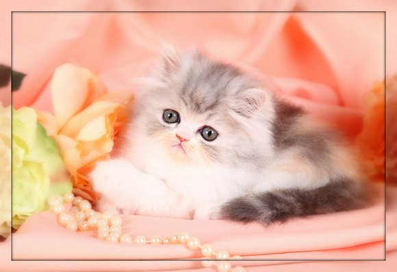 Persian Kittens For Sale : 7 Cute Teacup Persian Cat For Sale ...