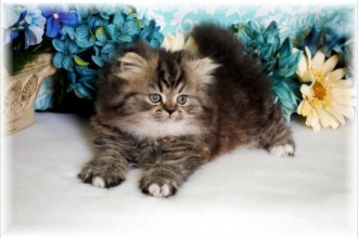 Persian Kittens For Sale , 8 Wonderful Toy Persian Cats In Cat Category