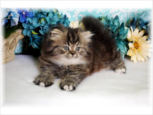 Cat , 8 Wonderful Toy Persian Cats : Persian Kittens For Sale