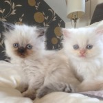 Persian Kittens for Adoption , 8 Cool Adopt A Persian Cat In Cat Category