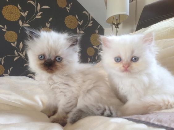 Cat Adoption Team Petsmart