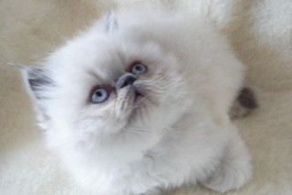 Persian Kittens in Dog