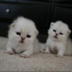 Persian Kittens , 5 Charming Persian Cats For Sale In Miami In Cat Category
