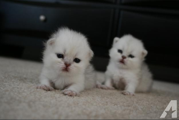 Cat , 5 Charming Persian Cats For Sale In Miami : Persian Kittens