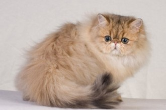 Persian Kittens , 4 Good Persian Cat Personality Traits In Cat Category