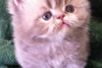 Persian Kittens , 6 Nice Persians Cats For Sale In Cat Category