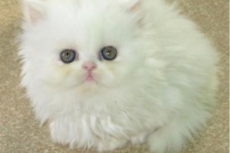 Persian Kittens in Laboratory