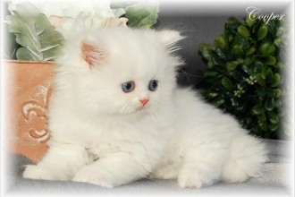 Persian Kittens , 8 Wonderful Toy Persian Cats In Cat Category