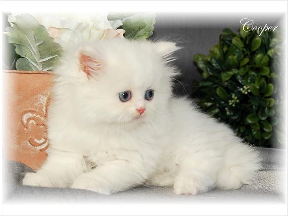 Cat , 8 Wonderful Toy Persian Cats : Persian Kittens