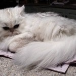 Persian Kittens , 8 Nice How Much Do Teacup Persian Cats Cost In Cat Category