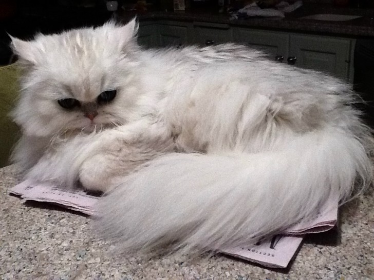 Persian Kittens Biological Science Picture Directory