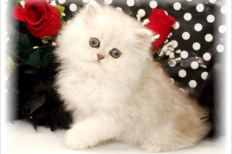 Persian Kittens , 8 Cool Teacup Persian Cats For Sale In Cat Category