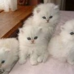 Persian Kittens , 5 Good Doll Face Persian Cats In Cat Category