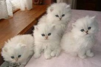 Persian Kittens in Cell