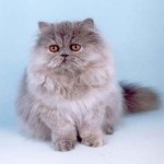 Persian Kitty Cat , 8 Charming Persian Cat Facts In Cat Category