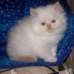 Persian Rescue Groups , 6 Charming Persian Cat Rescue Los Angeles In Cat Category